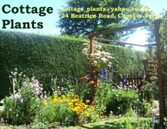 Advertisement for Cottage Plants